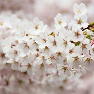 Stimulatori za cvatnju